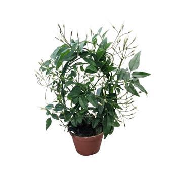 MINI JASMINUM polyanthum D06 x12 ARCEAU Jasmin d hiver