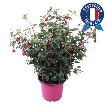 FUCHSIA hybride D19 Buisson de beaute