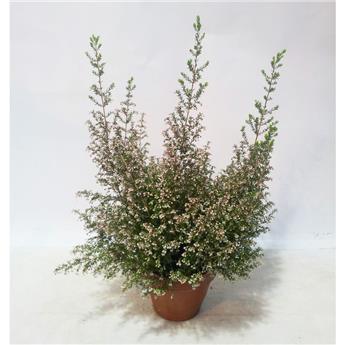 ERICA arborea D14T BLANC