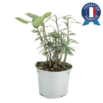 MENTHA spicata D14 x8 Menthe marocaine