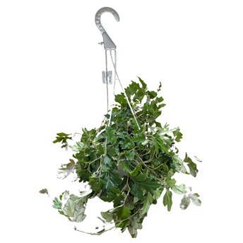 CISSUS rhombifolia D20 Ellen Danica 50CM