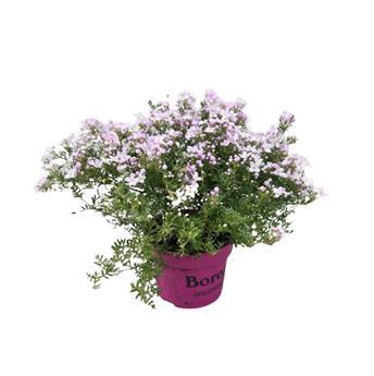 BORONIA anemonifolia D13